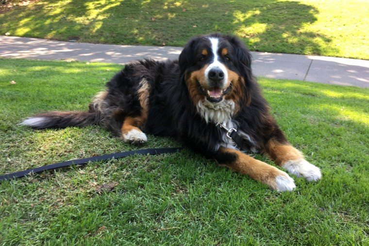 Image: Izzy, a 9-year-old Bernese Mountain Dog who belongs to Jack Weaver's parents relaxes, Oct. 14, 2017, in Windsor, California.