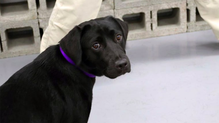 Lulu bomb-sniffing dog got fired by CIA