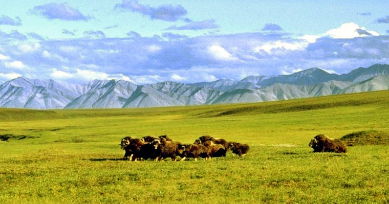Image:  A Herd of Musk Ox Graze