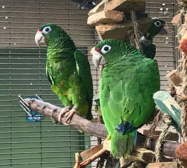 A couple of endangered Puerto Rican Parrots at an aviary in El Yunque rainforest, in Puerto Rico.