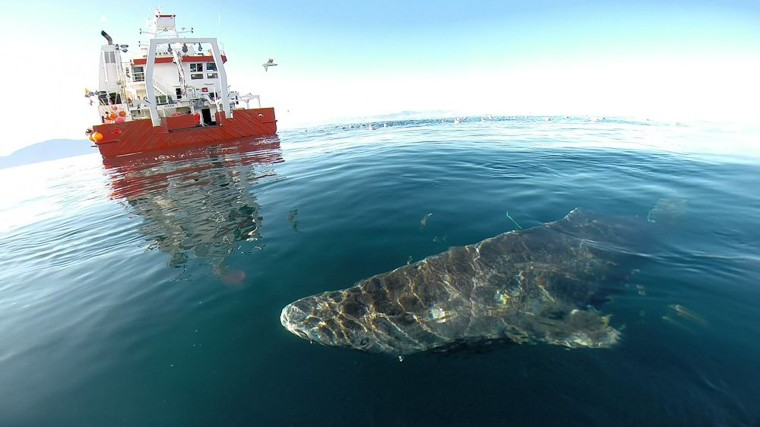 Scientists studied hearts that had been extracted from Greenland sharks.