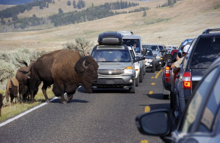 Image: A large bison blocks traffic as tourists take photos of the animals in the Lamar Valley of Yellowstone National Park