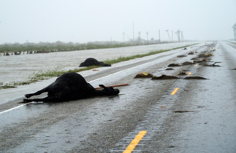 Image: Dead Cows Killed in Hurricane Harvey Lie Along Highway 35 Near Fulton