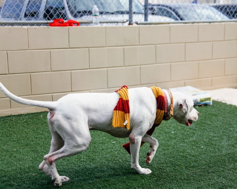Dogs are tested by an animal behaviorist in the shelter's play yard, where they play with four different toys that will determine their house placement.