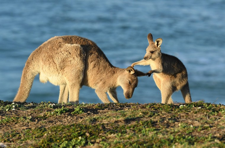Image: Kangaroos on Emerald Beach