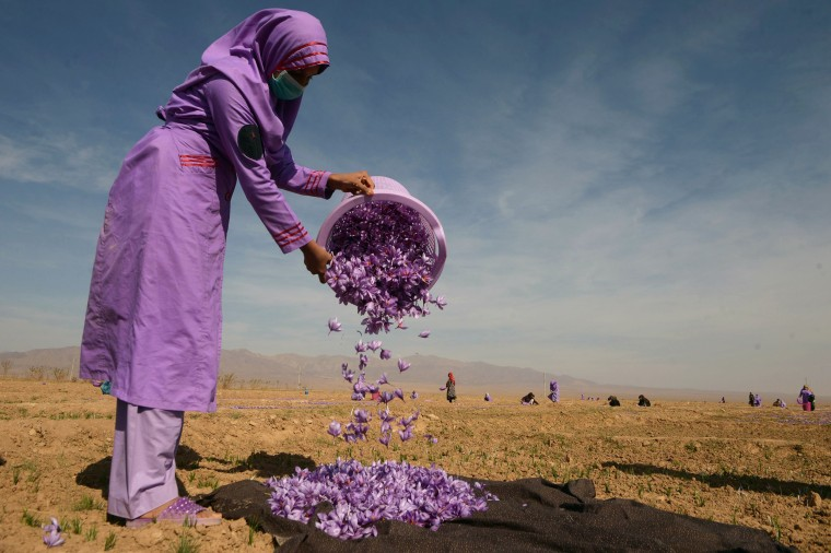 Image: An Afghan woman collects saffron flowers after picking them in a field