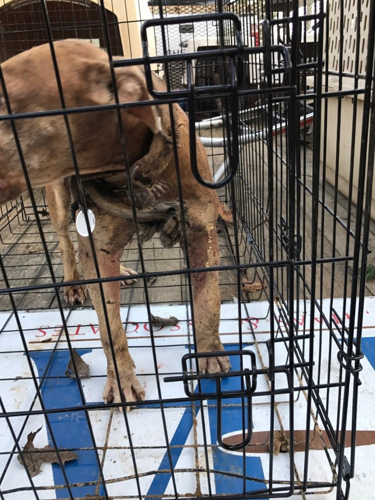 50 dogs rescued from suspected dog fighter