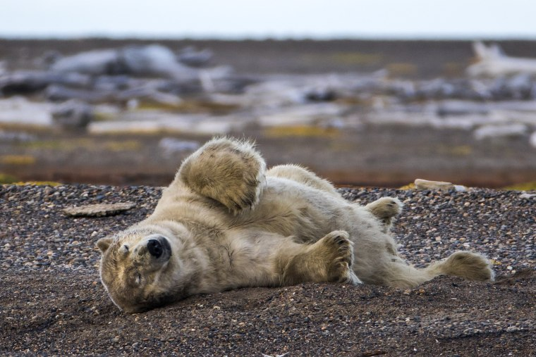 Image: Threatened Polar Bears Find Sanctuary in Alaskan Village
