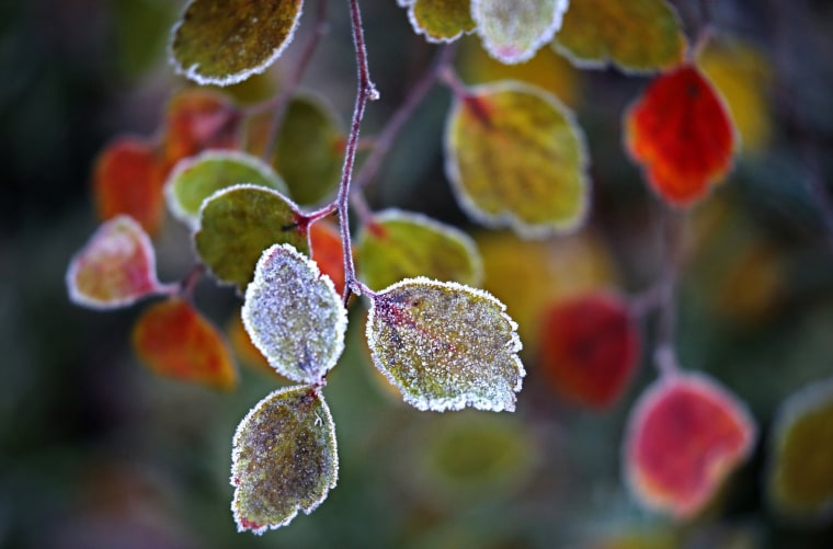 Image: Hoarfrost covers the leaves of the bush in Moscow