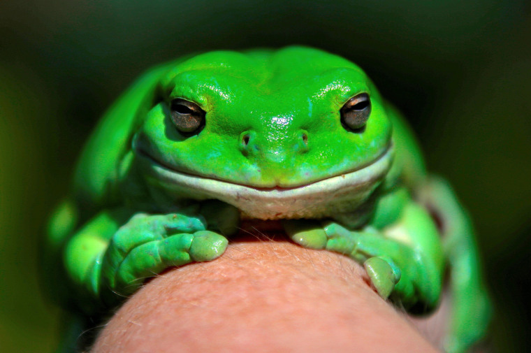 "Image: An Australian green tree frog named ""Godzilla"" sits on a hand as the Australian Museum's launches a new frog app"