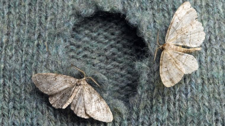Moths on Wool Sweater