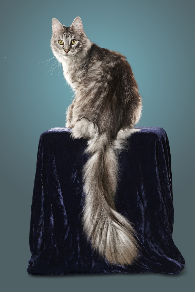 Image: Cygnus holds a Guinness World Record for the cat with the longest tail