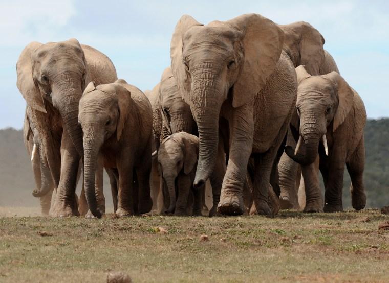 Image: A head of African elephants walks in Add