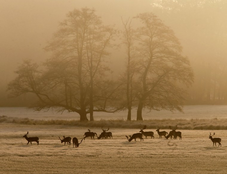 Image: Fallow deer stand on a meadow as the sun rises near Frankfurt