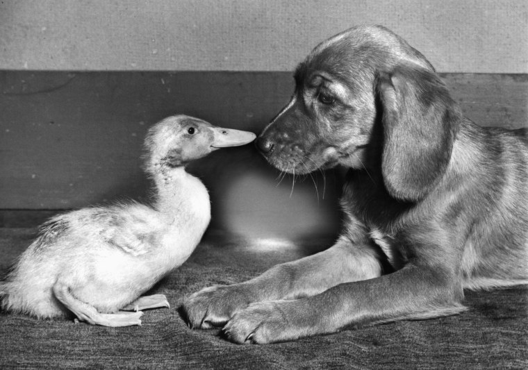 Puppy Nose to Nose with Duck