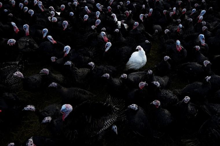 Image: A white bronze turkey sits among Norfolk black turkeys