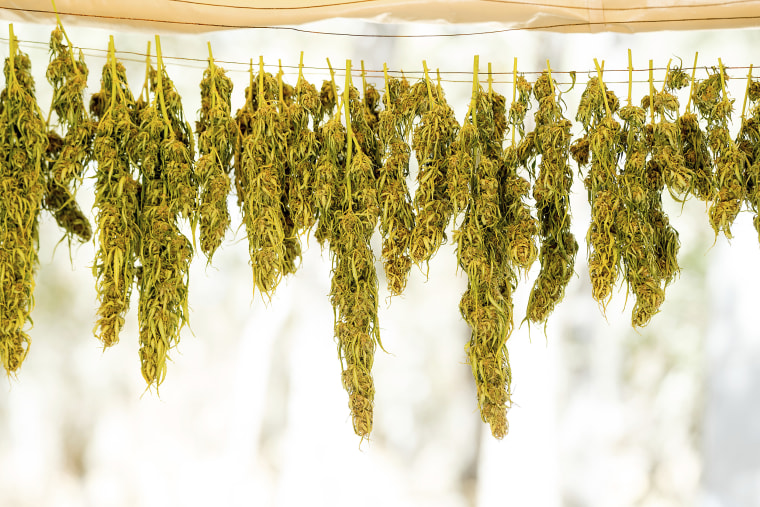 Image: Marijuana hangs on a line while drying