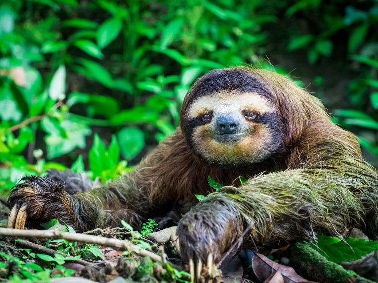 Image: Portrait of a Sloth