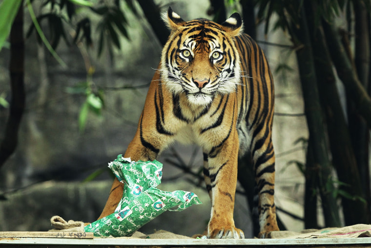 This is a Sumatran tiger, and he is not in the wild. He is, however, part of a conservation program.