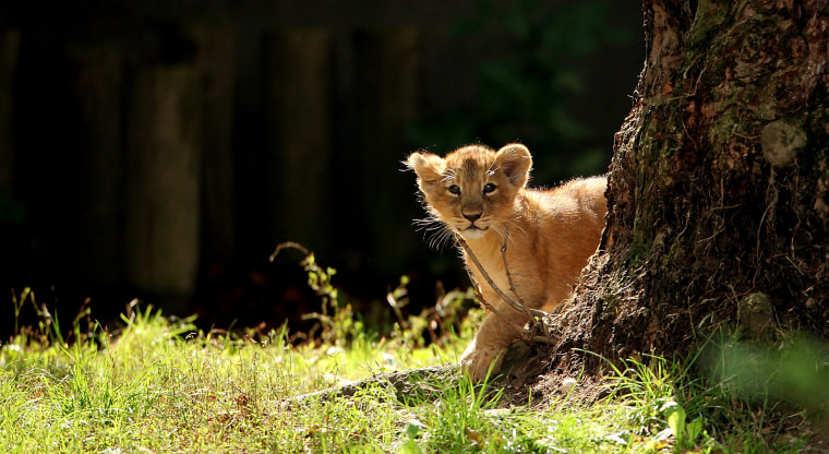 Only conservationists truly need to document a lion cub's existence.