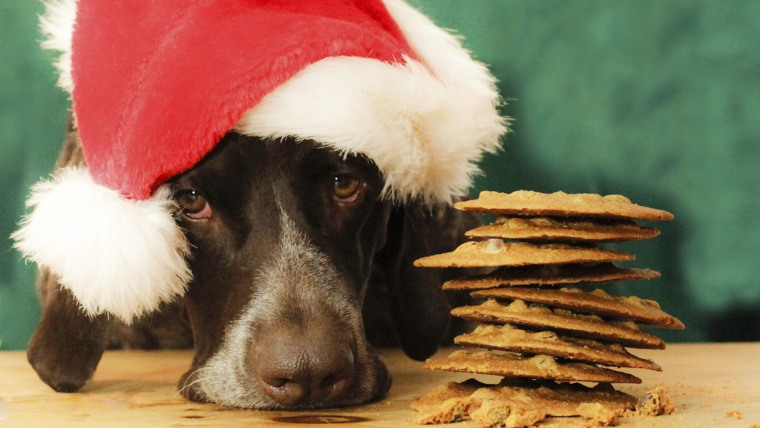 Dogs more at risk of chocolate poisoning during Christmas