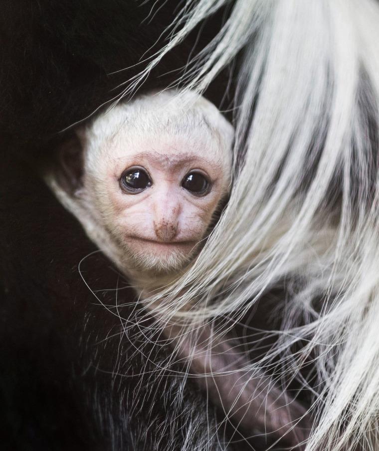 Image: Mantled guereza offspring