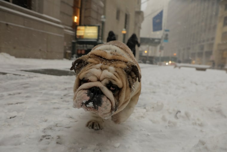 Image: A bulldog walks through the snow during a snowstorm in New York