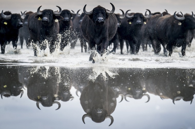 Image: A herd of about 120 buffaloes are taken from their winter habitat