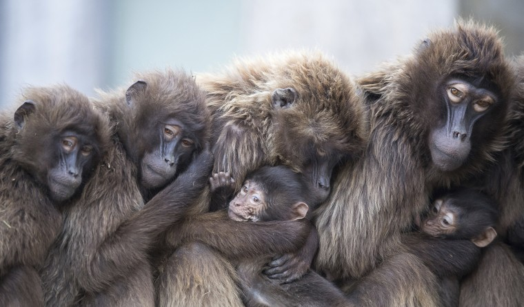 Image: Female gelada baboons cuddle with their offspring