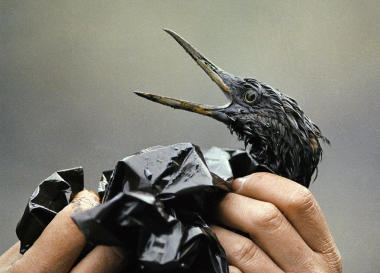 Image: An oil-soaked bird affected by the Exxon Valdez spill in 1989