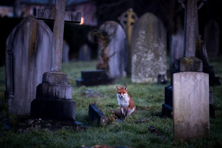 Image: BESTPIX - Urban Fox Numbers Continue To Rise