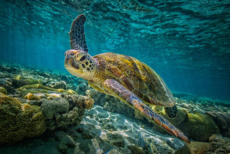 Image: Green Turtle