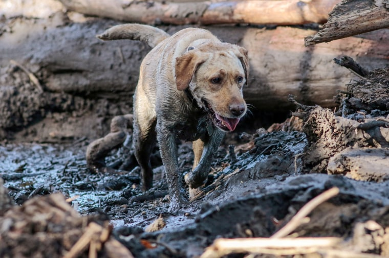 Image: A search and rescue dog is guided through properties after a mudslide in Montecito, California