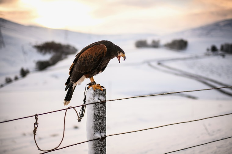 Image: A Harris's hawk waits to go rabbit hunting with its owner in Leadhills, Scotland
