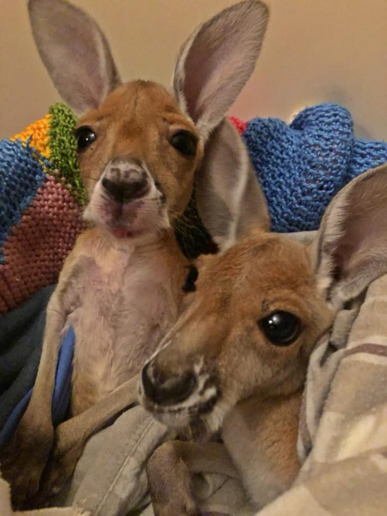 Orphaned baby kangaroo learns to take his first hops.