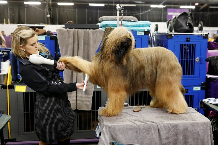 Image: Jambo, a Briard, is groomed in the benching area on the first day of competition at the Westminster Kennel Club dog show