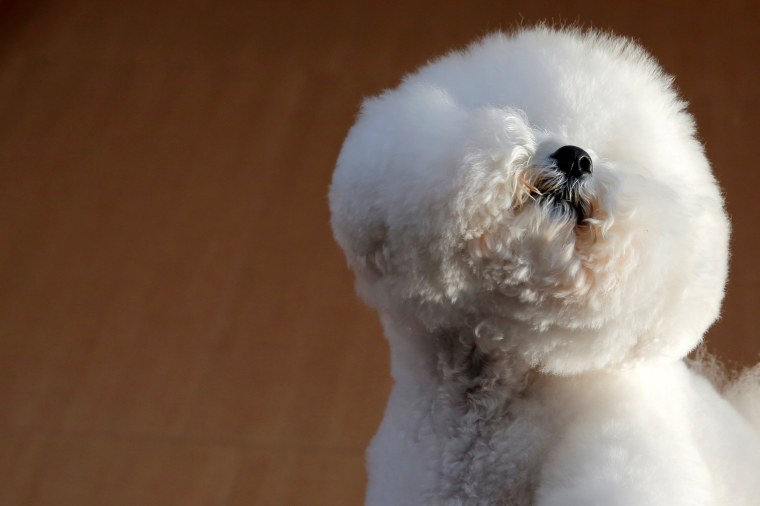 Image: Flynn, a Bichon Frise, visits the One World Observatory a day after winning best in show