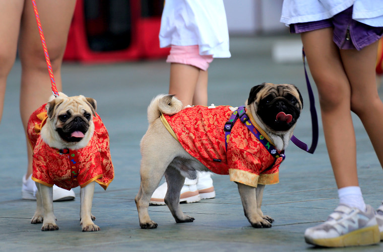 Image: Pet lovers display their dogs wearing Chinese cheongsams in Metro Manila