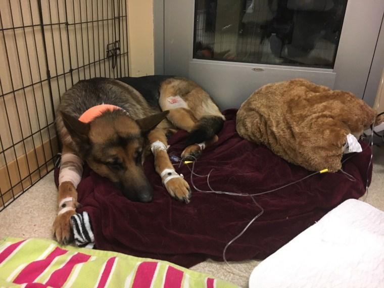Rex, as he awaited surgery last week.