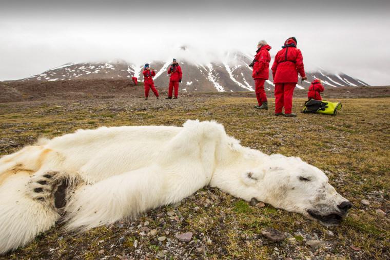 Image: A male polar bear that starved to death as a consequence of climate change, according to scientists.