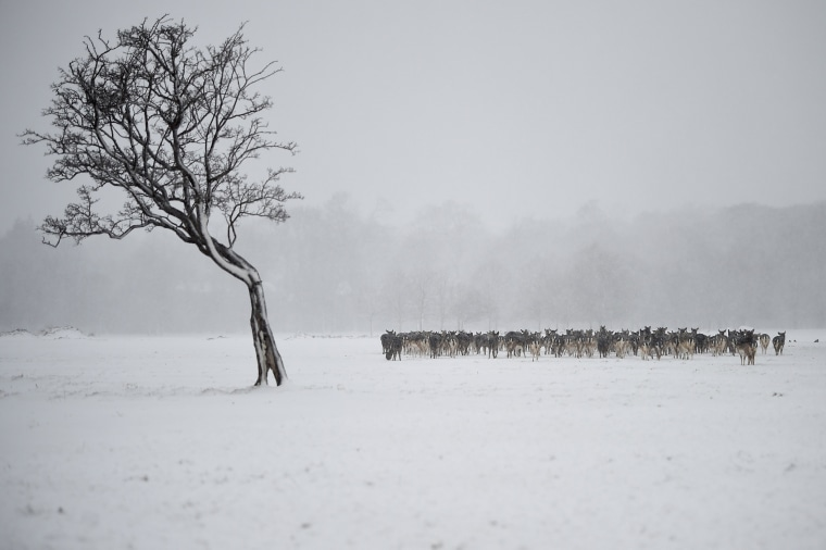 Image: Deer huddle together in woodlands during heavy snow in Dublin