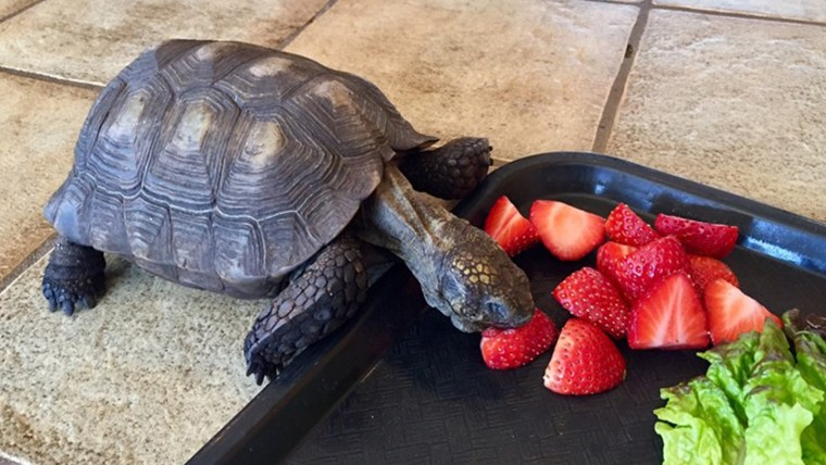 Pet turtle owned by Minnesota woman for 56 years eats strawberries and turtles