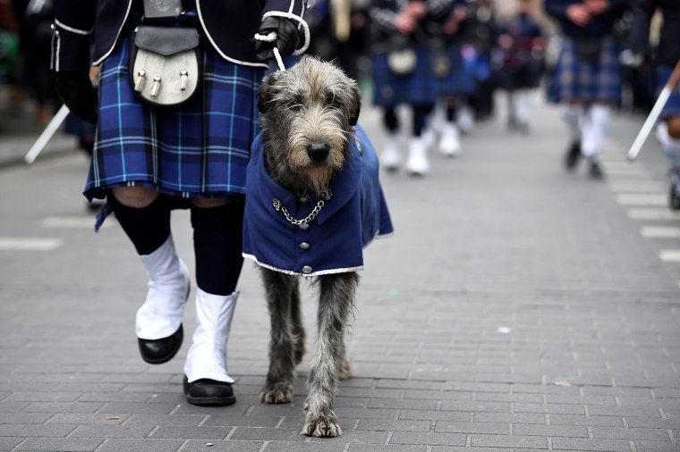 Image: An Irish Wolfhound participates in the St. Patrick's Day parade in Dublin