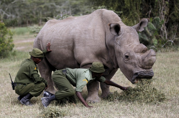 Image: FILE PHOTO: Wardens assist the last surviving male northern white rhino named 'Sudan' as it grazes at the Ol Pejeta Conservancy in Laikipia national park, Kenya