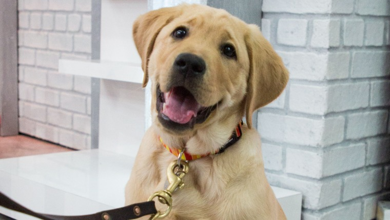 For the 27th year in a row, the Labrador Retriever is the most popular dog breed.