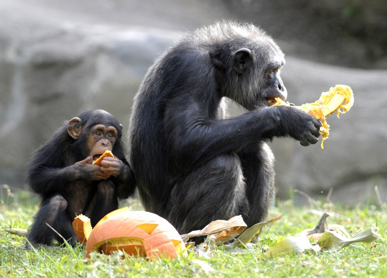 Chimps share a pumpkin at the Detroit Zoo in 2015.