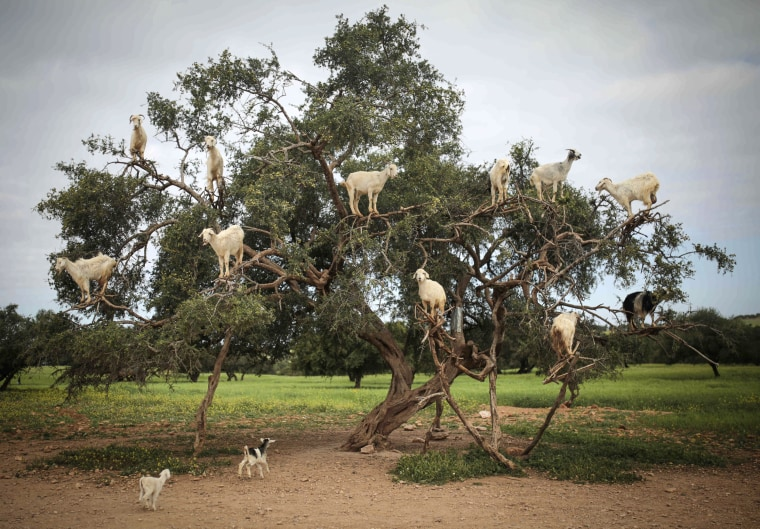 Tree-climbing goats feed on an Argania Spinosa, known as an Argan tree, in Essaouira, southwestern Morocco, on April 4. By eating the fruit and spitting out the seeds, the goats help in the process of manufacturing Argan oil.