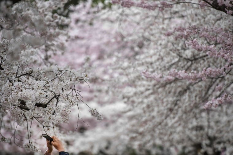 Image: US-LIFESTYLE-CHERRY BLOSSOMS