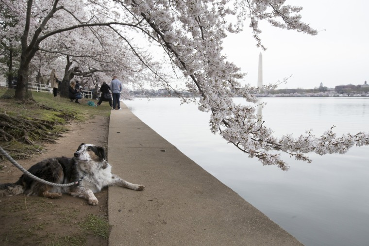 Image: 2018 National Cherry Blossom Festival