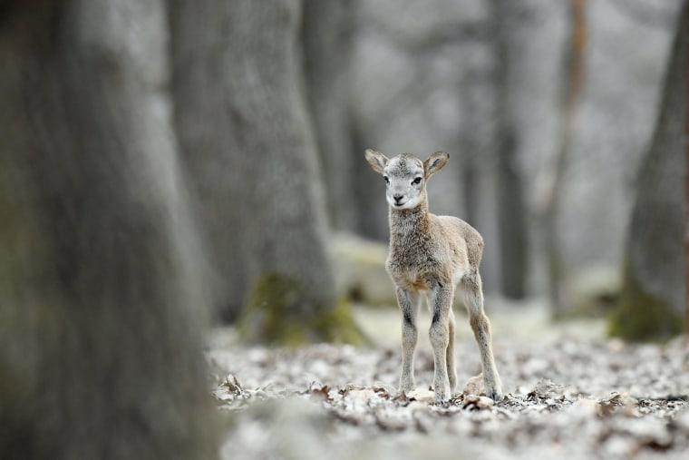 Image: A week old mouflon lamb